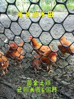 黃金土雞(花蓮)