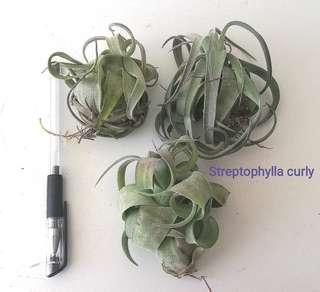 Air Plant - streptophylla curly