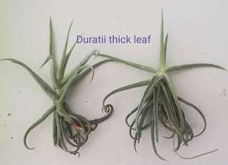 Air Plant - Duratii thick leaf