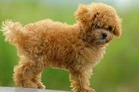 Looking for Toy Poodle Puppies for adoption.