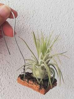 Air Plant - Magnusiana (attached to bark)