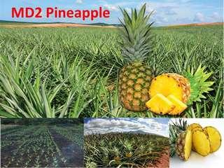 MD2 Pineapple