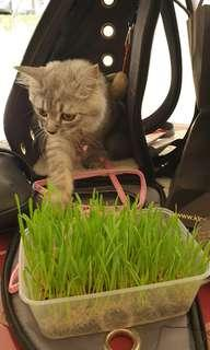 REDUCE PARASITE, PHLEGM, HAIR BALLS FROM YOUR CAT WITH CAT GRASS VERY EFFECTIVE Offer $5/tray Buy 2 Get 1 Free