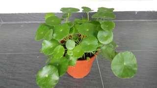 SALE 2 pots of plants FOR $8 Pennywort, Money Plant