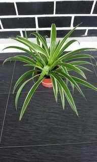 Spider Plant, Chlorophytum