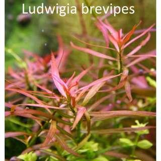 Ludwigs Brevipes