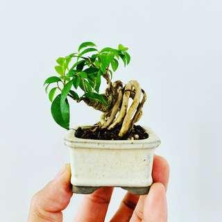 🚚 Name Dwarf Cherry Bonsai in a Japan Container