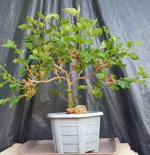 Mulberry Bonsai fruiting season at GreenGift Mini Farm Plot