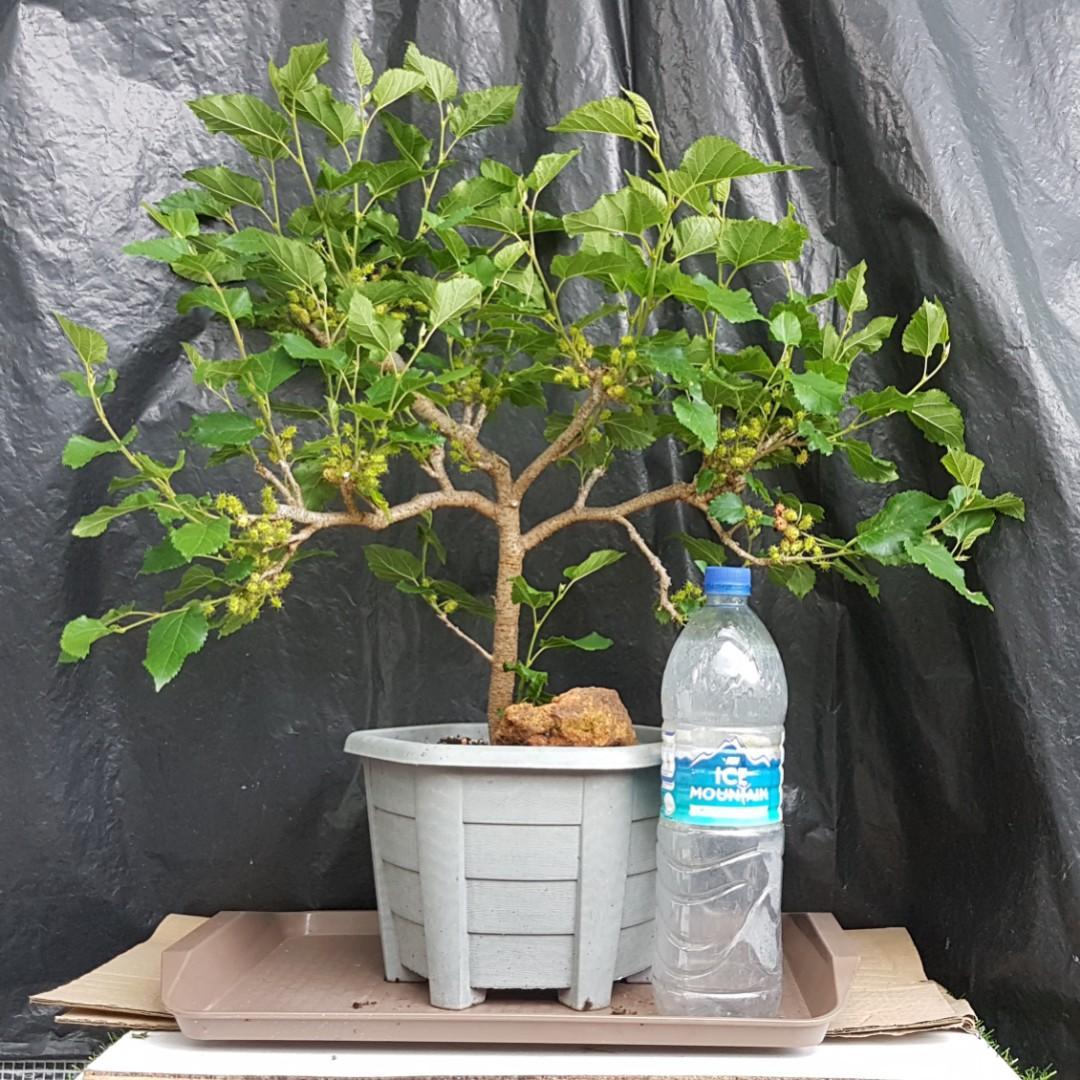 Mulberry Bonsai Fruiting Season At Greengift Garden Plot