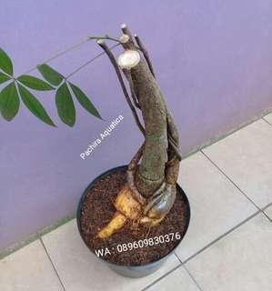 Tanaman  Pachira Aquatica Bonggol Tinggi 50cm.