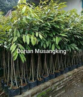 Pohon durian musang king. Khusus jkt bisa gojek. Luar kota pake si cepat
