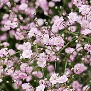 Pink Baby's Breath Seeds