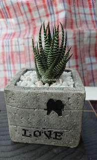 水泥橫紋十二卷多肉植物 Succulent