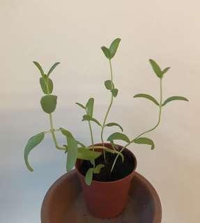 Homegrown Horse Mint pot (small)