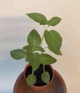 Homegrown Pear Mint pot (small)