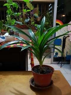 Pandan Plant (1 pot left)
