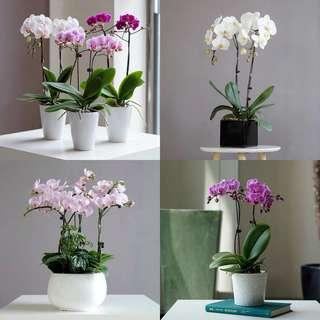 Orchid Live Plants-House Plants-Congratulations Gifts
