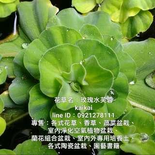 水生植物:玫瑰水芙蓉