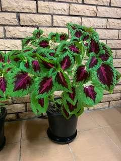 Large Green & Pink Coleus Plant 60cm tall