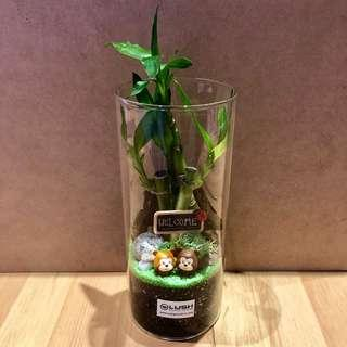 🚚 LATEST! V Day/ Mother's Day/ Mum's Day/ Anniversary/ Valentine's Day/ Christmas/ Birthday/ Congrats/ Farewell/ House warming- Real Plant Lucky Bamboo