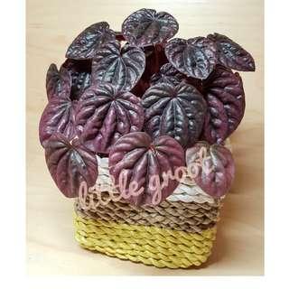 Indoor Plant Peperomia Caperata