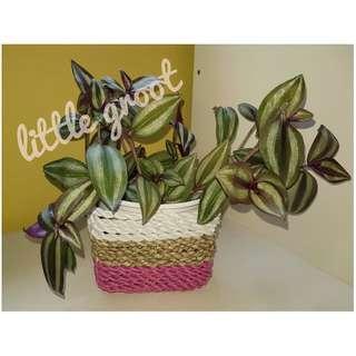 Indoor Plant / Tradescantia zebrina / Wandering Jew