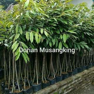Pohon durian musang king kaki 3. Bisa gojek