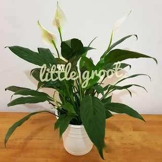 Excellent Air Purifying Indoor Plant / Peace Lily