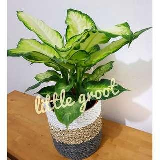 Air Purifying Indoor Plant Dieffenbachia / Dumb Cane