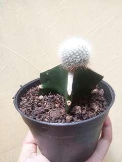 Kaktus Mini/skulen