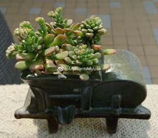 已售 純分享 多肉植物 塔洛克 Succulent