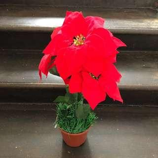 Christmas flower (Poinsettia)