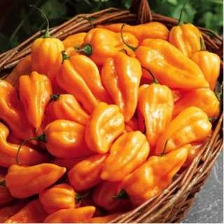 🚚 Pepper Hot 'Fatalii' (Capsicum Chinense) Vegetable Plant Heirloom, 10 Seeds