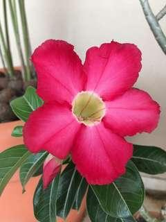 Special Limited Edition Taiwan 2 Colours Adenium for Mother's Day