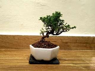 🚚 Mini Bonsai