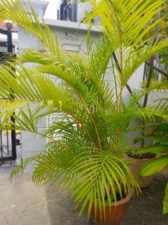 Beautiful Palm Tree 1.5m - 2m
