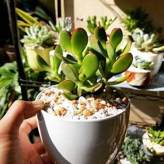 Jade plant in ceramic pot