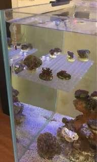 Coral frag rack for sale, for glass thickness <15mm