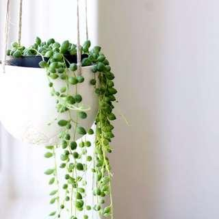 🚚 String of Pearls seeds