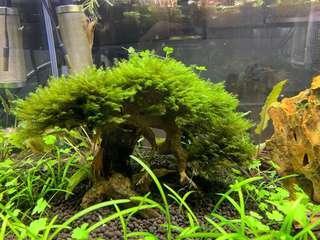🚚 US fissidens aquarium bonsai tree