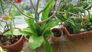 Bird nest plant