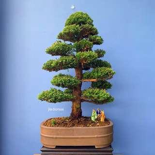 Japanese Cedar Bonsai