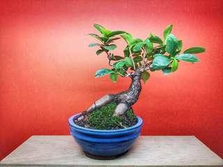 IPY085 - Ficus Ginseng - Lehzy