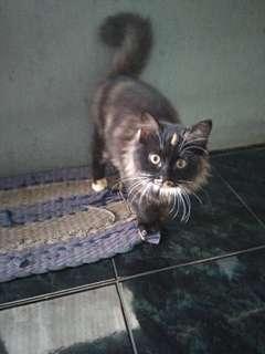 Kucing Kitten Persia Mix Mainecoon