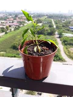 Baby red chilli plant