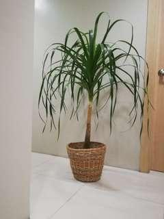 Ponytail Palm (Safe for Dogs)