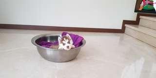 Dijual Siberian Husky