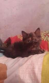 Anak kucing persia kitten betina