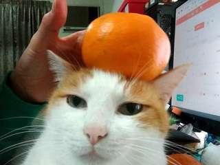 貓咪 離胺酸