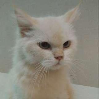 Kucing Kitten White Mainecoon mix Angora BUKAN PERSIA